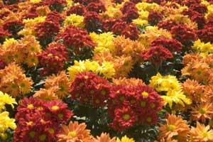 Chrysanthemum Cuttings