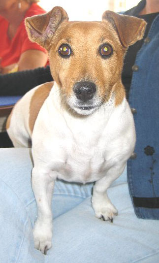 Happy Birthday Hayley (Jack Russell Terrier)