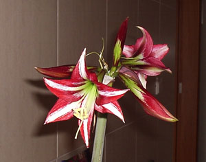 Amaryllis Not Blooming
