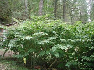 Getting Rid of Japanese Knotweed