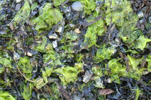 Composting Seaweed