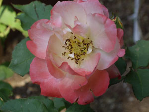 Climbing Rose Advice