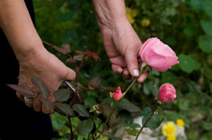 Starting a Rose Bush from a Cutting