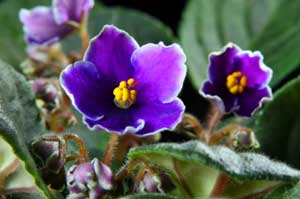 African Violet's Leaves are Turning Yellow