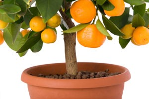 Planting Dwarf Fruit Trees in Pots