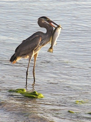 Blue Heron and Fish