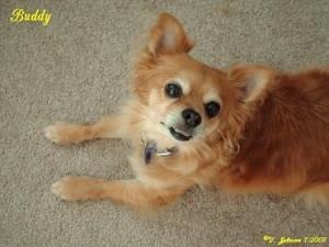 Buddy (Chihuahua/Pomeranian)