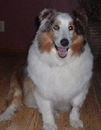 Spencer (Sheltie)