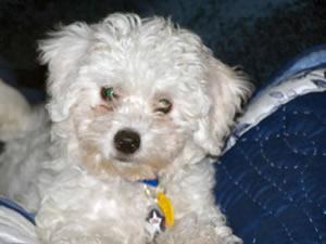 Max, My Bichon Frise