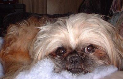 Jezzy - Pekingese and Shih Tzu mix