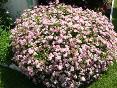 LittlePrincessSpirea.jpg
