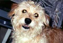 Shelly Girl - Cairn Terrier