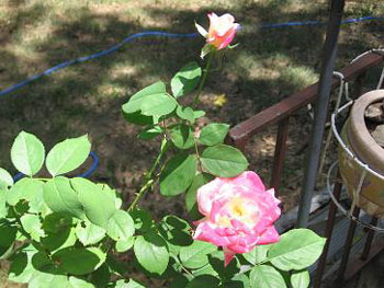 Tea Rose in Whiskey Barrel