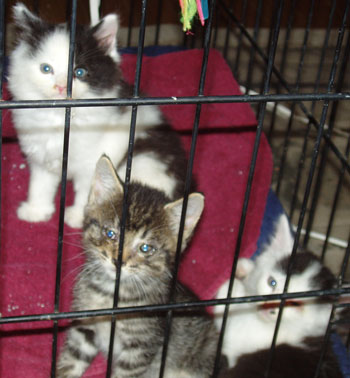 Kittens - Sugar, Booger and Patches