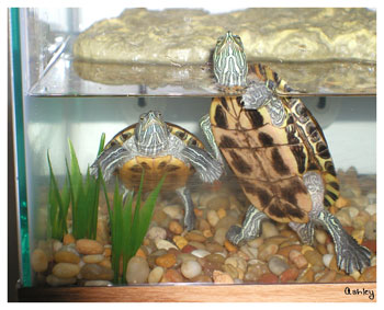 Red eared slider growth