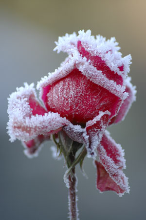 http://www.thriftyfun.com/images/articles15/Winter-Roses300x451.jpg