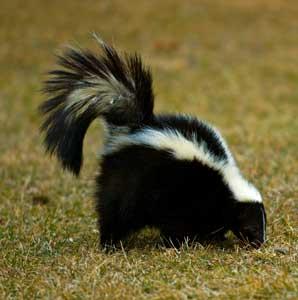 skunk298x300.jpg