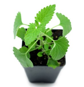 Growing Catnip Indoors