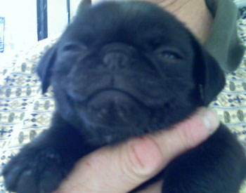 Snuggles (Pug) the Puppy