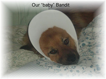 Bandit - Mixed Breed