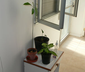 Avocado Plants in a Hot Climate