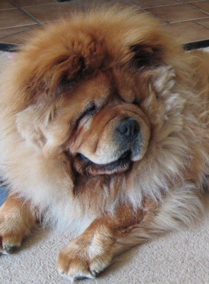 Rocco (Chow Chow Rescue)