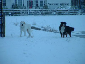 Bernie (Bernese Mountain Dog) and Wilson (Great Pyrenees)