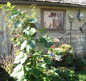 Garden: Volunteer Gourd