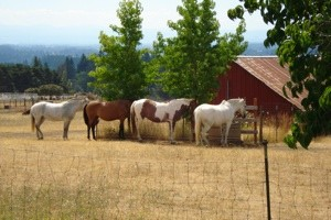 Scenery: Horses In Sherwood, OR