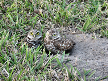 Burrowing Ventriloquist Owls