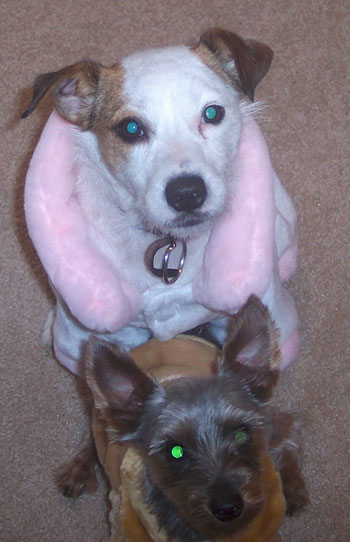 Cookie (Jack Russell) and Oso (Yorkie)