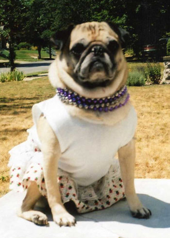 Pugsley Marie (Chinese Pug)