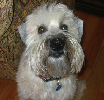 Wrigley - Soft coated Wheaton Terrier