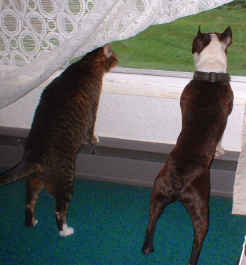 boston terrier and cats fernado mexica cat and fenway boston terrier thriftyfun 8412
