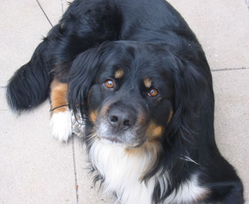 Riley - Bernese Mountain Dog