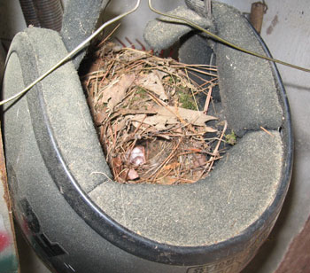 Bird's Nest in a Motorcycle Helmet