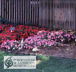 how do you revive new guinea impatiens