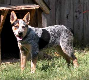 Australian Cattle Dog Wallpaper