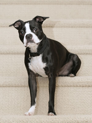 http://www.thriftyfun.com/images/petguides/Boston-Terrier300x401.jpg