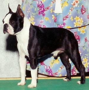 http://www.thriftyfun.com/images/petguides/BostonTerrierRocky300x301.jpg