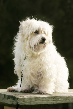 White Maltese Dog in sitting position
