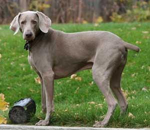 Weimaraner Powerful Breeds